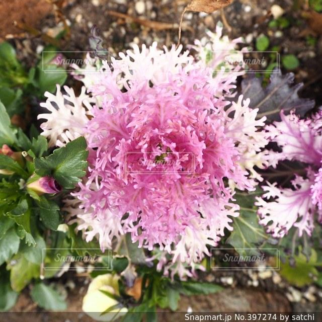 花,春,ピンク,植物,白,葉牡丹,ハボタン