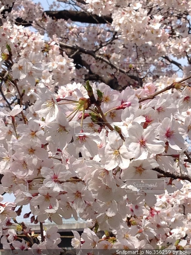 花,春,桜,ピンク,満開,入学,桃色,チェリーブロッサム