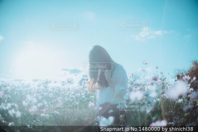 コスモスの写真・画像素材[1480000]