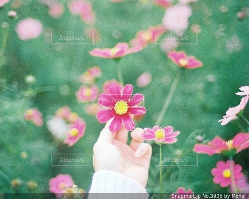 ピンクのコスモスの写真・画像素材[3905]