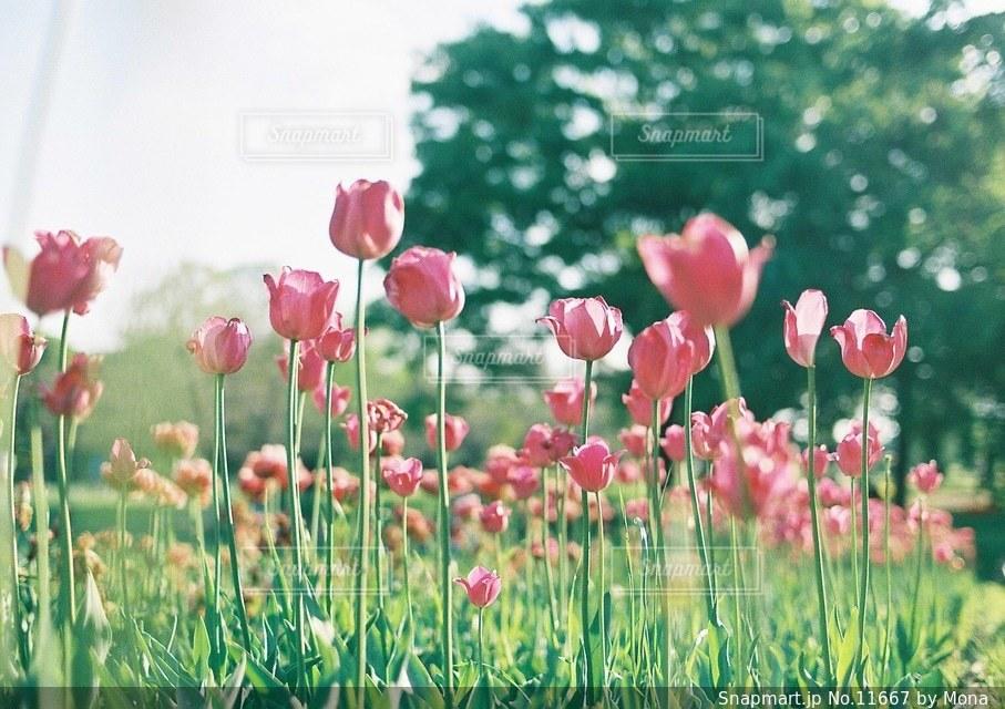 まっすぐ咲くチューリップの写真・画像素材[11667]