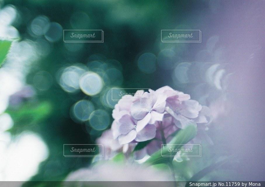 やさしく咲くあじさいの写真・画像素材[11759]