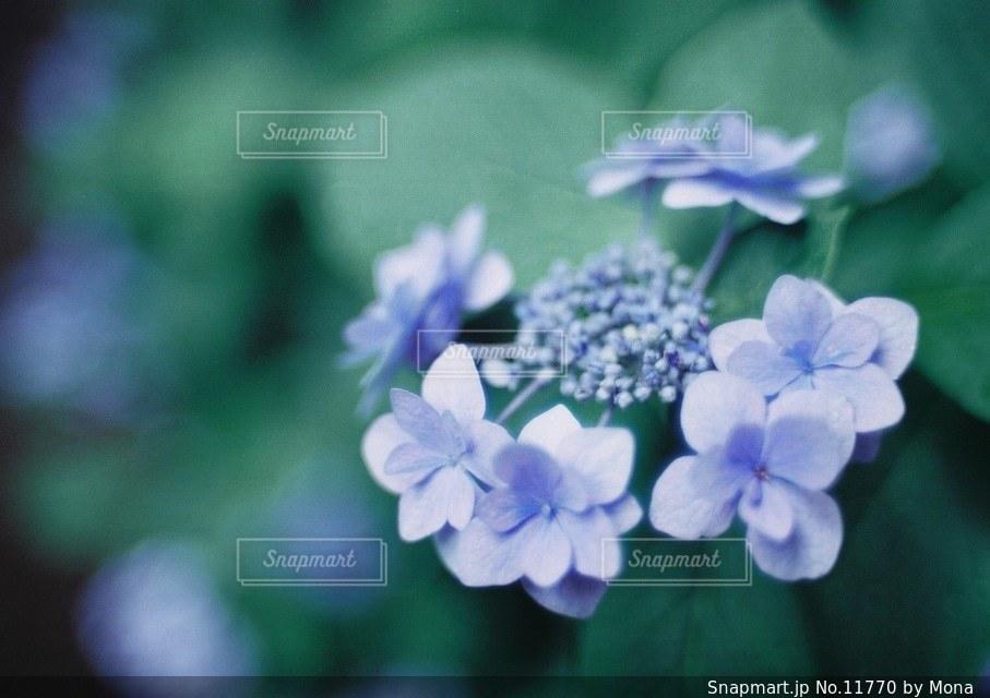 やさしく咲くあじさいの写真・画像素材[11770]