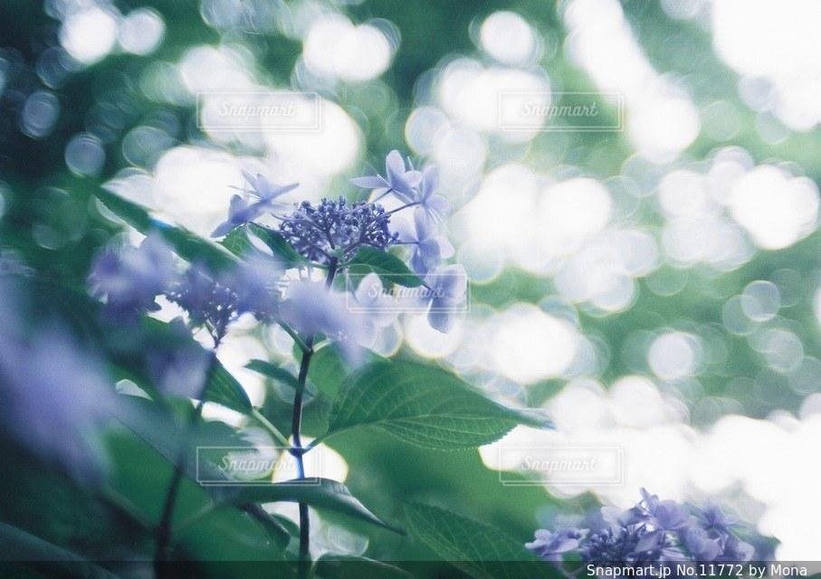 やさしく咲くあじさいの写真・画像素材[11772]