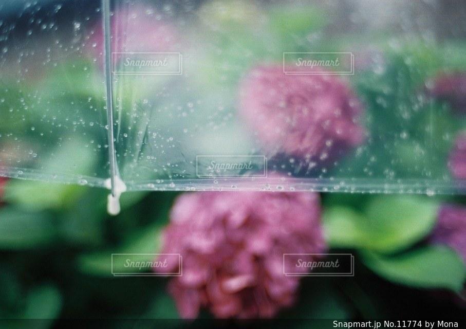 あじさいと傘の写真・画像素材[11774]