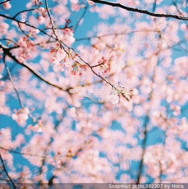 桜と青空の写真・画像素材[392307]