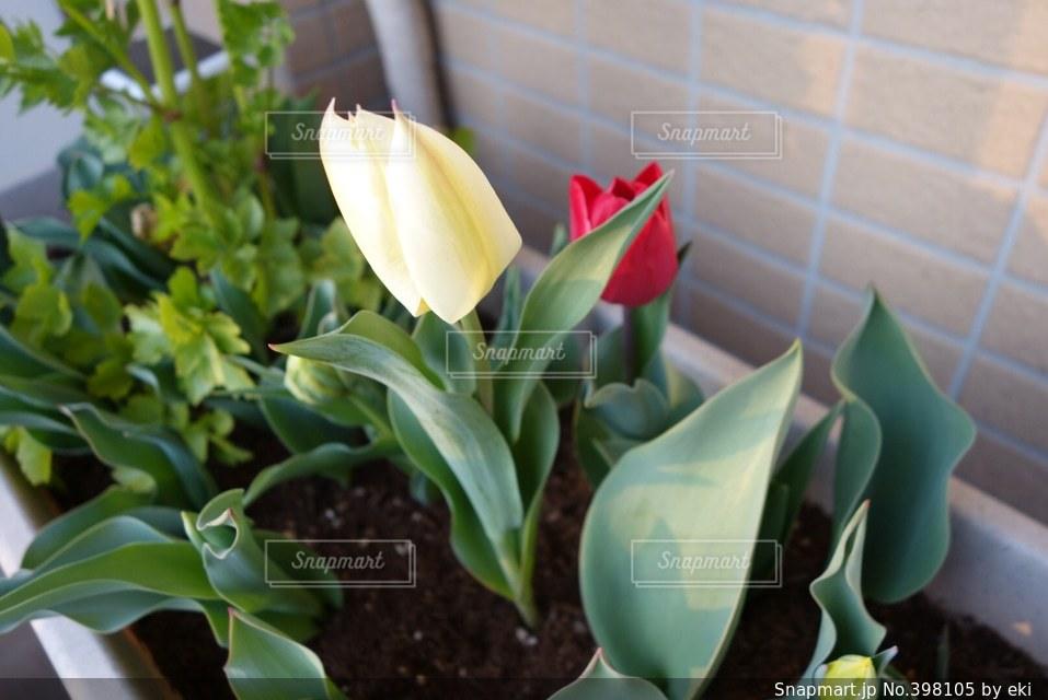 春,緑,植物,赤,白,かわいい,ベランダ,チューリップ,癒し,プランター,鉢植え,園芸,グリーン,趣味,鉢,開花,咲く,イタリアンパセリ