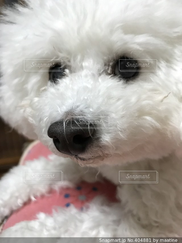 犬,白,かわいい,顔,鼻,目,表情
