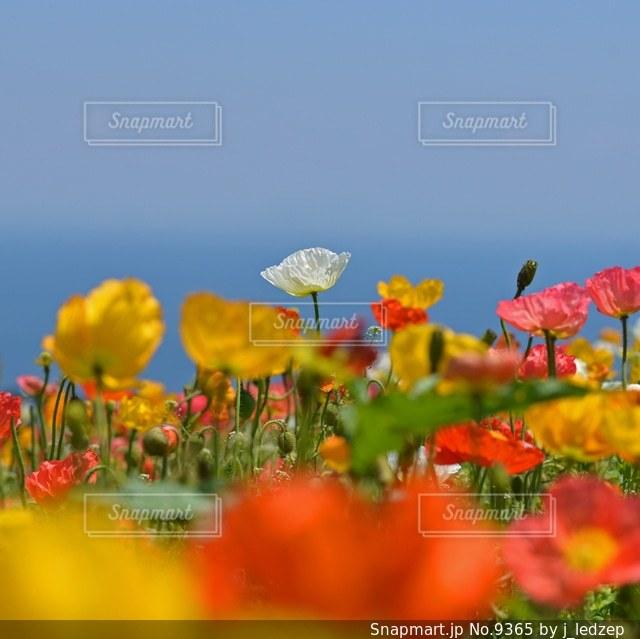 花さじきのポピー畑の写真・画像素材[9365]
