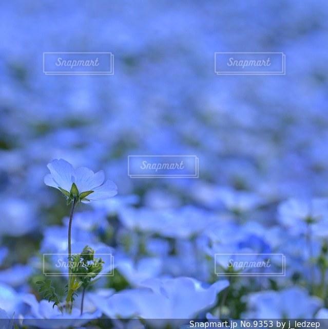 ネモフィラの写真・画像素材[9353]