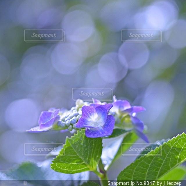 紫陽花の写真・画像素材[9347]