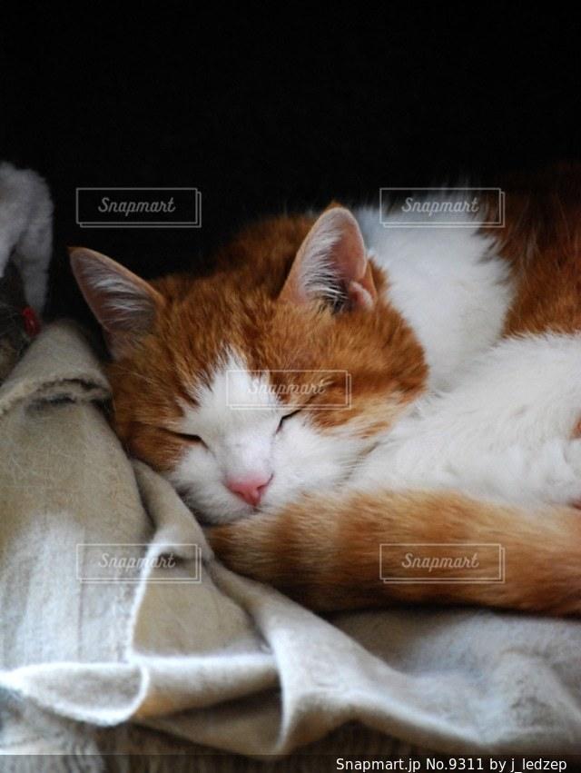 猫の写真・画像素材[9311]