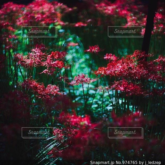 彼岸花の写真・画像素材[974765]