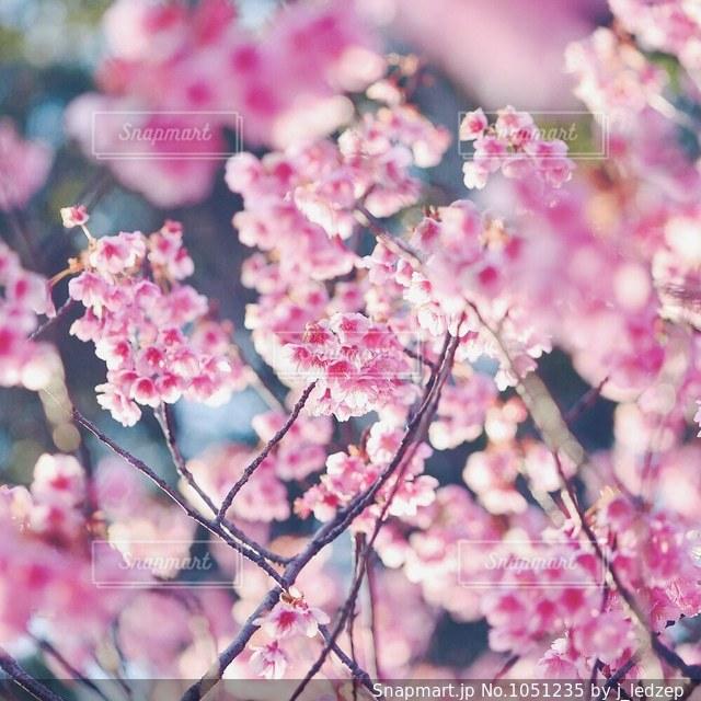 桜の写真・画像素材[1051235]