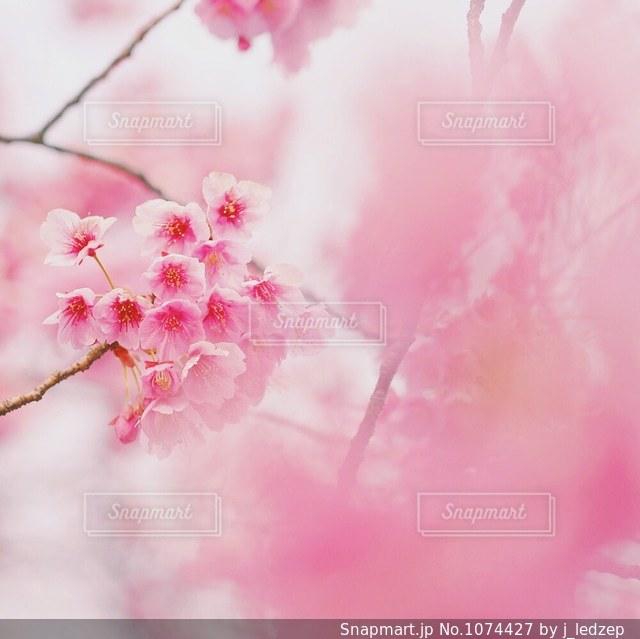桜の写真・画像素材[1074427]