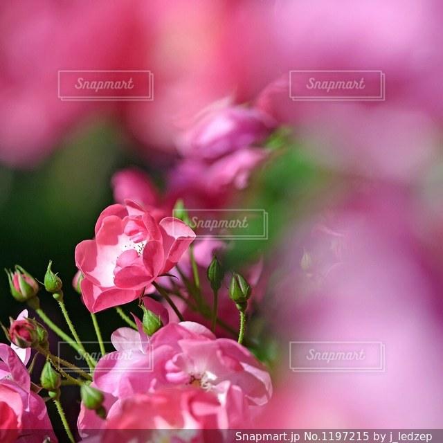 バラの写真・画像素材[1197215]