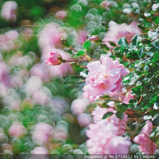 ローズガーデンの写真・画像素材[1714072]