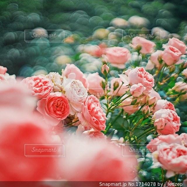 薔薇園の写真・画像素材[1714078]