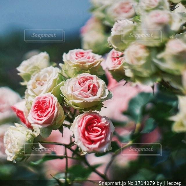 薔薇園の写真・画像素材[1714079]