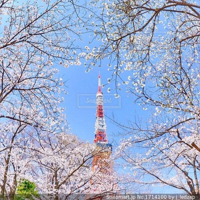 東京タワーと桜の写真・画像素材[1714100]