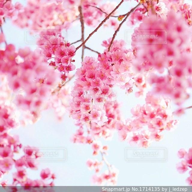 桜の写真・画像素材[1714135]