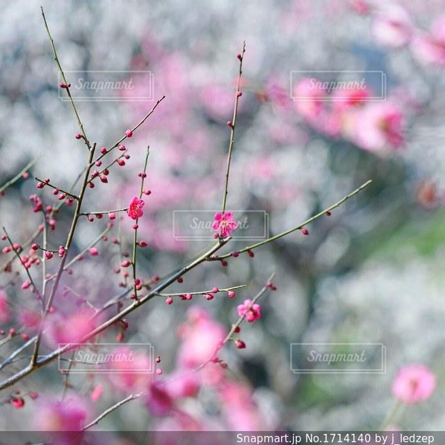 梅の写真・画像素材[1714140]