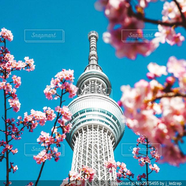 桜とスカイツリーの写真・画像素材[2975455]