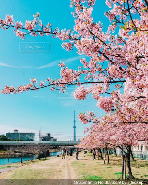 桜と東京スカイツリーの写真・画像素材[3086259]