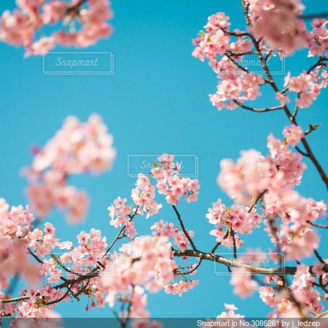 木の枝に咲くピンクの花のグループの写真・画像素材[3086261]