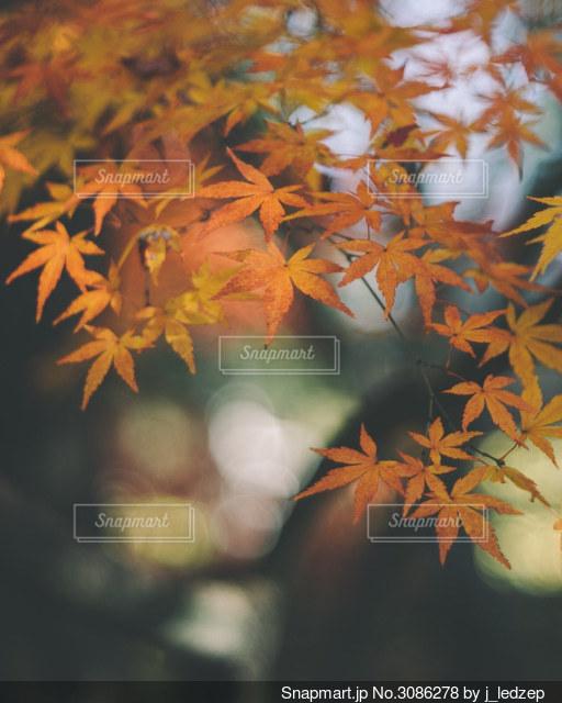 紅葉のクローズアップの写真・画像素材[3086278]
