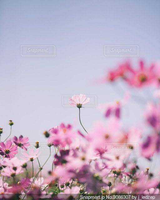 コスモス畑の写真・画像素材[3086307]