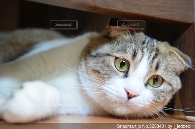 テーブルの下で寝転ぶ猫の写真・画像素材[3233431]