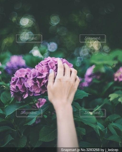 紫陽花の写真・画像素材[3283268]