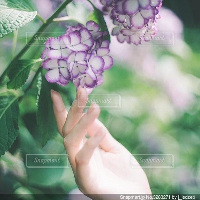 紫陽花の写真・画像素材[3283271]