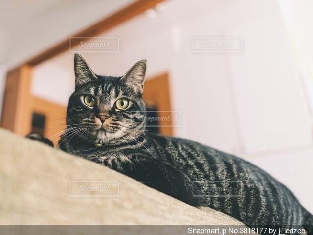 カメラ目線のネコの写真・画像素材[3818177]
