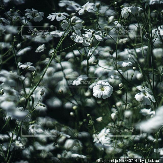 かすみ草の写真・画像素材[4407141]
