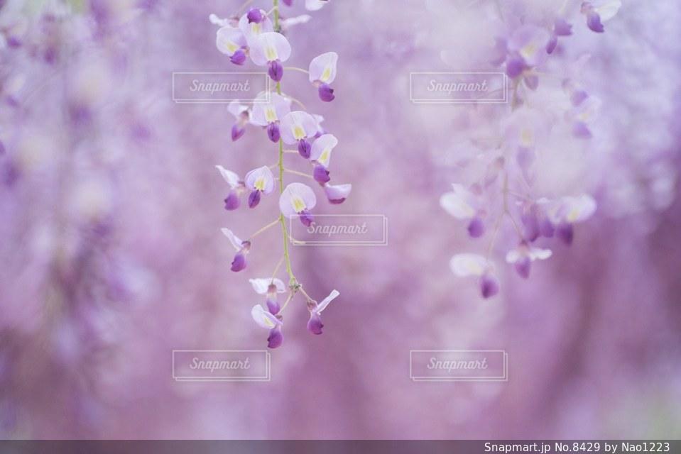 花の写真・画像素材[8429]