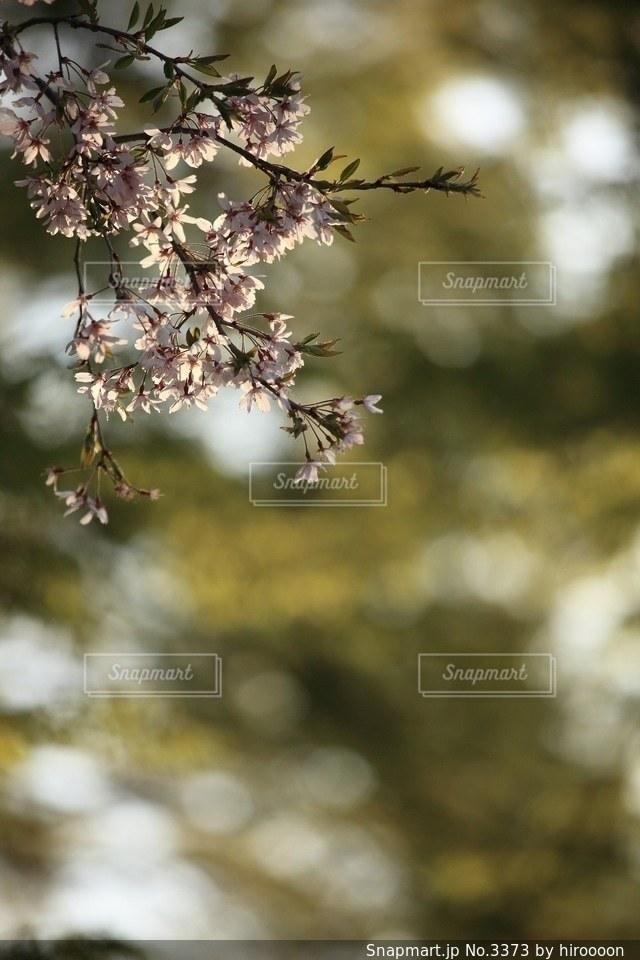 花の写真・画像素材[3373]