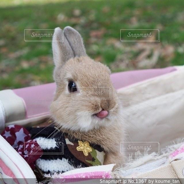 ピンクの毛布の上に座って猫の写真・画像素材[1367]