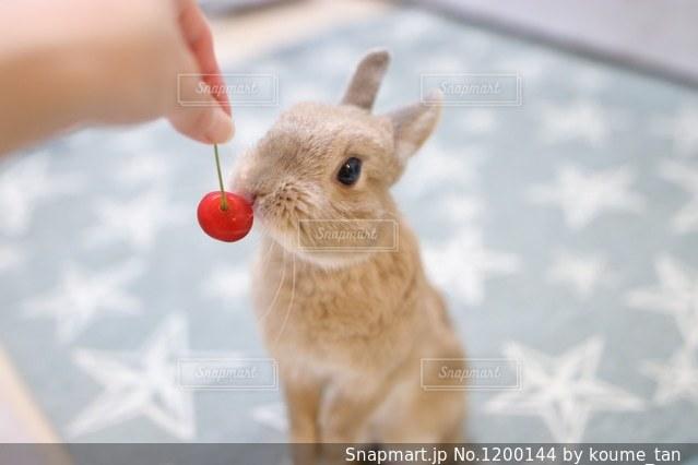 小型犬おもちゃで遊んでの写真・画像素材[1200144]