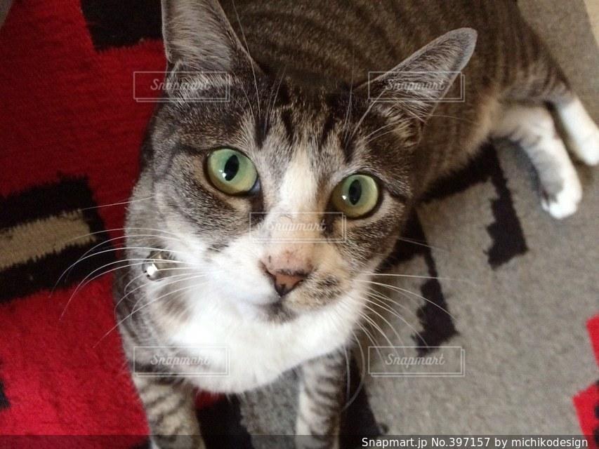 猫,動物,白,ねこ,ペット,グレー,トラ猫,ネコ,鯖トラ