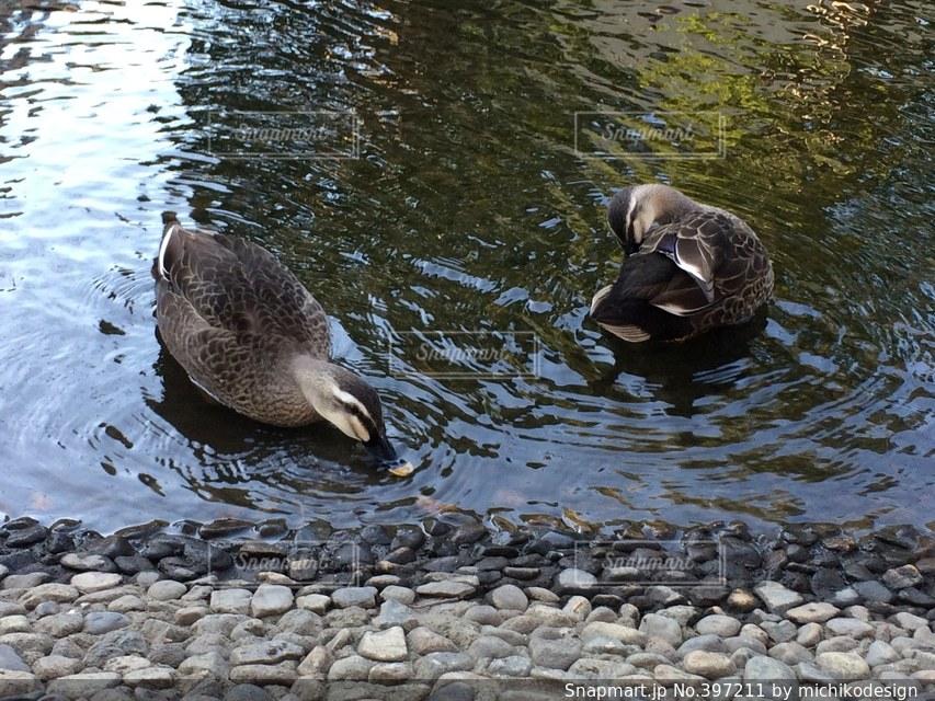 自然,動物,鳥,川,池,鴨,かも