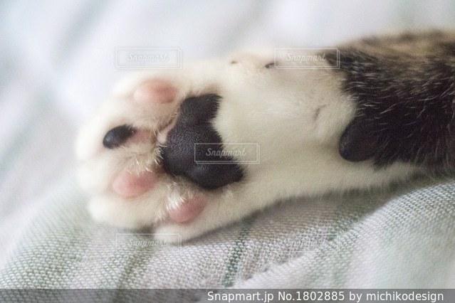 ぷにゅぷにゅ猫の肉球の写真・画像素材[1802885]