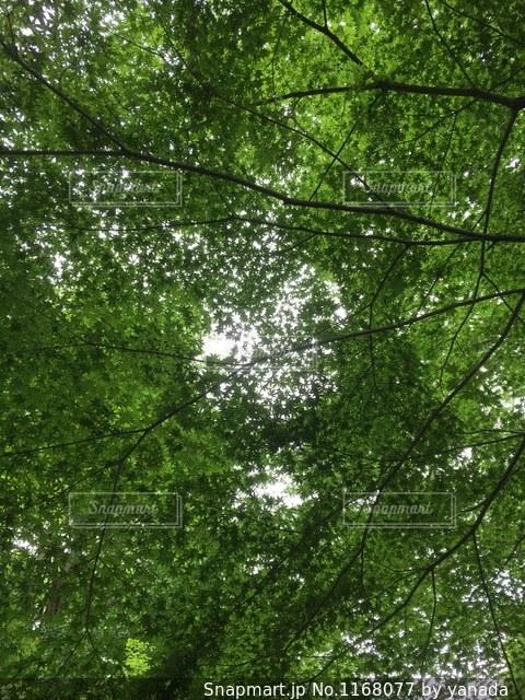 森の大きな木の写真・画像素材[1168077]
