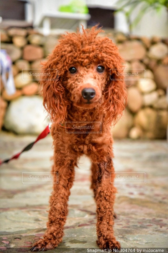 犬の写真・画像素材[304764]