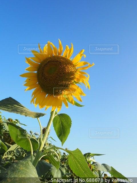 花の写真・画像素材[688678]