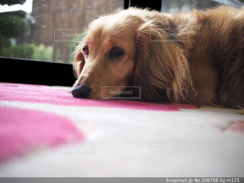 犬の写真・画像素材[308708]