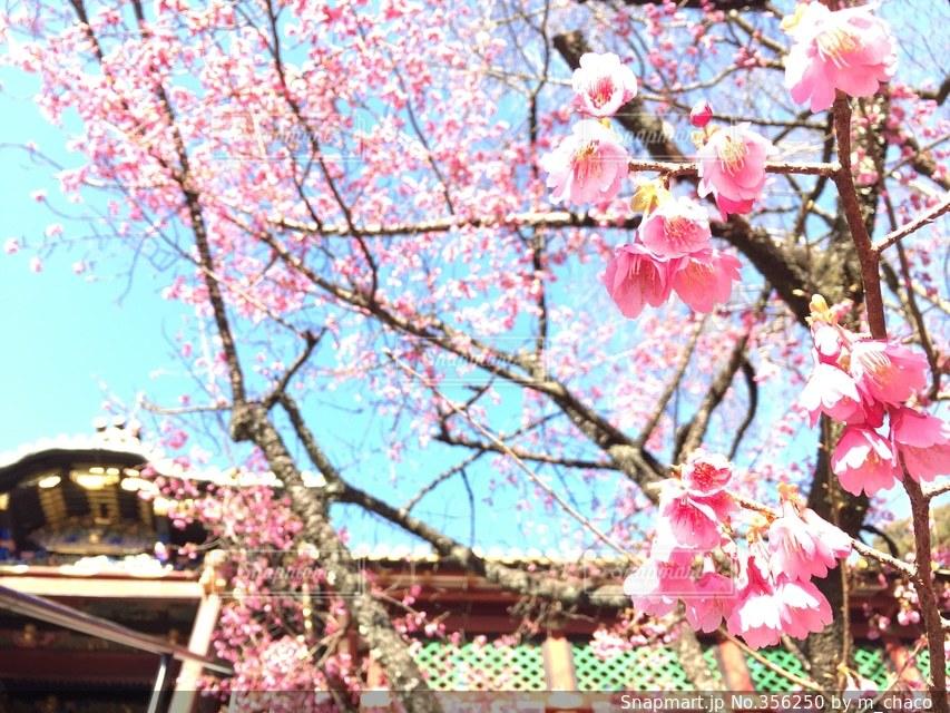 春,ピンク,お花,旅行,桃,桃の花,久能山東照宮