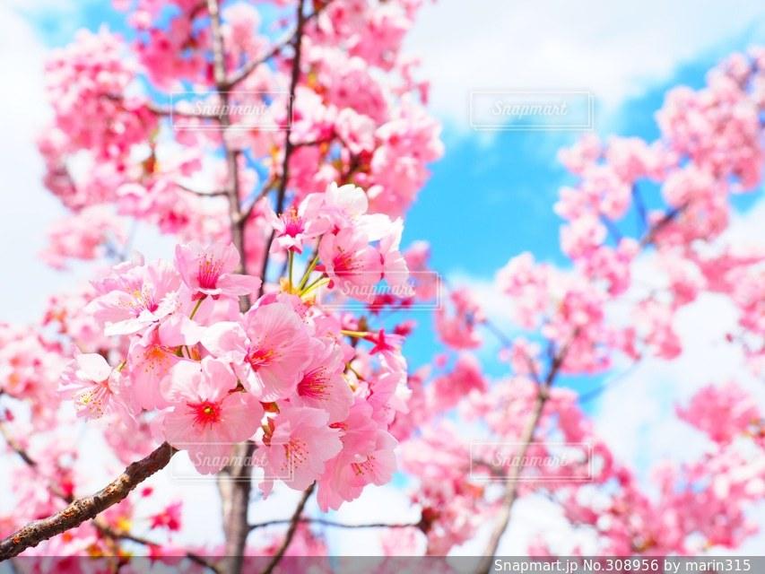 花,春,桜,大阪,青空の写真素材