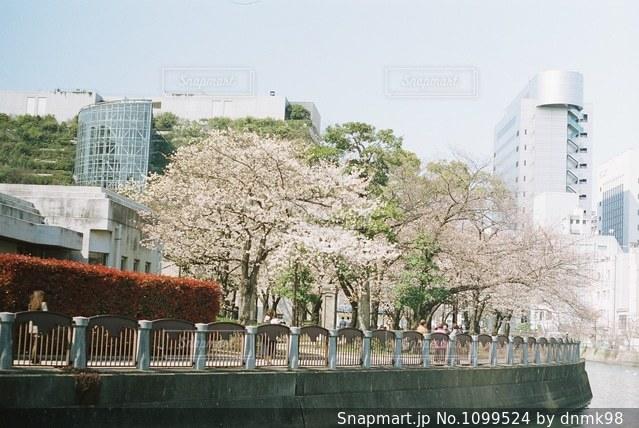 中洲の桜の写真・画像素材[1099524]